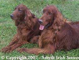 Two AKC Irish Setters