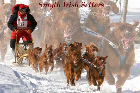Irish Setter puppies for sale